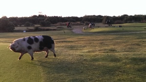 Massive bacon! The near one chased me and in the background you can see the golfer hurriedly getting a shot away!